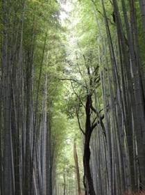 生きる竹.jpg